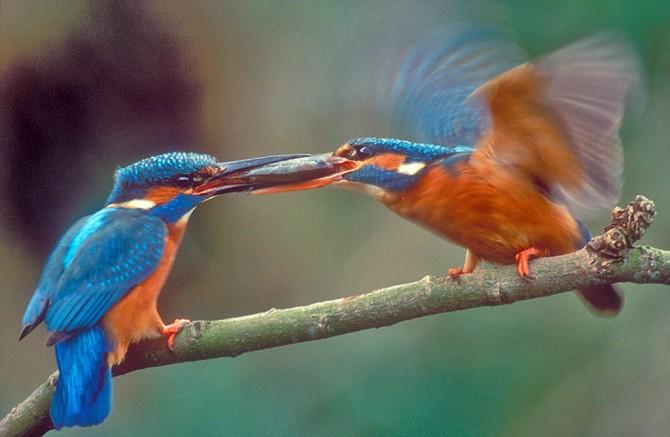 Kingifshers courting