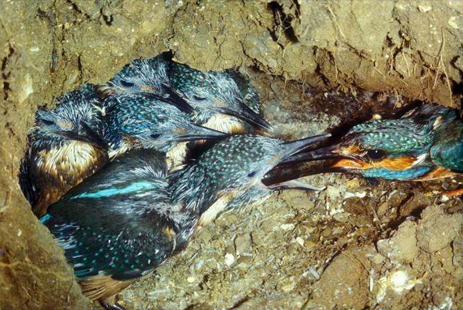 Kingfishers nesting underground